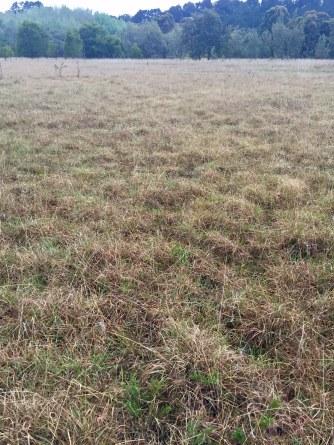 Unburnt grassland